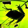 Hemiphractus proboscideus g