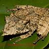 Hemiphractus proboscideus b