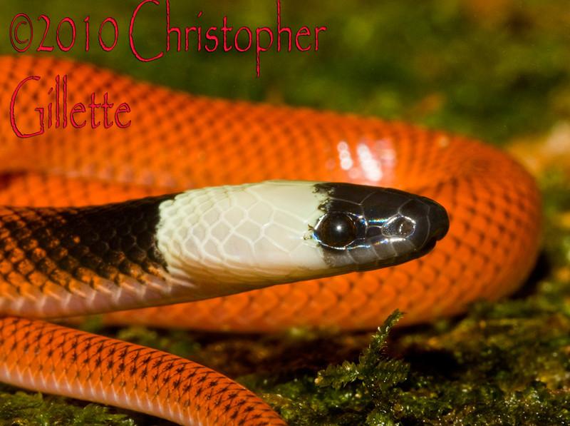 Drepanoides anomalus c