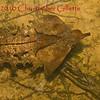 Chelus fimbriatus c