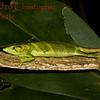 Polychrus marmoratus c