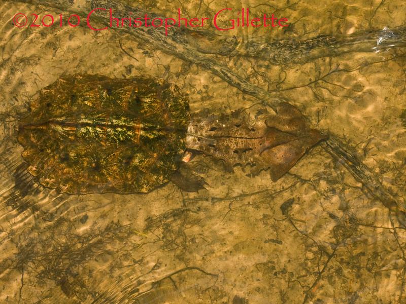 Chelus fimbriatus b