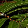 Oxyrhopus petola digitalis