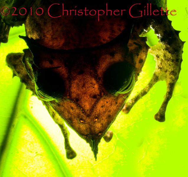 Hemiphractus proboscideus f