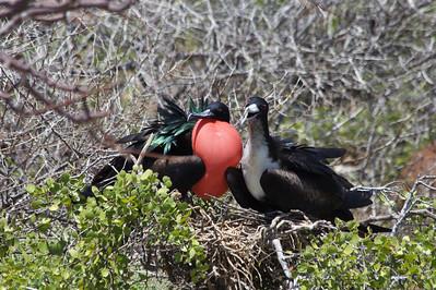 Frigate bird pair