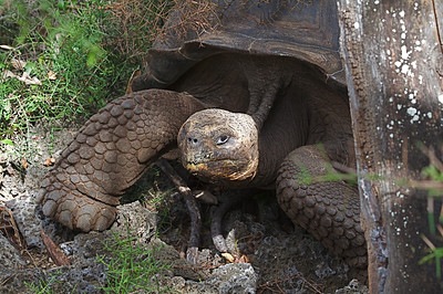 Giant tortoise at the Darwin Station