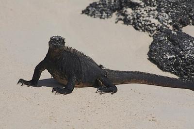 Marine Iguana on one of the Galapagos Islands