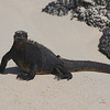 Marine Iguana on one of the Galapagos Islands