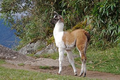 Juvenile llama at Machu Picchu