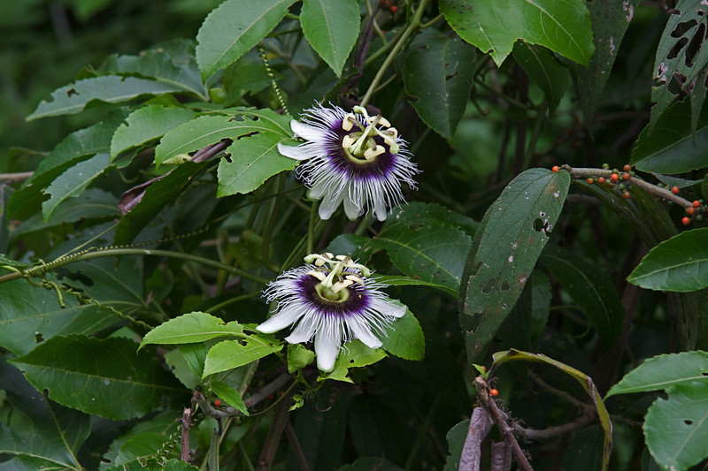 Passion fruit flower at farm with free-range giant tortoises
