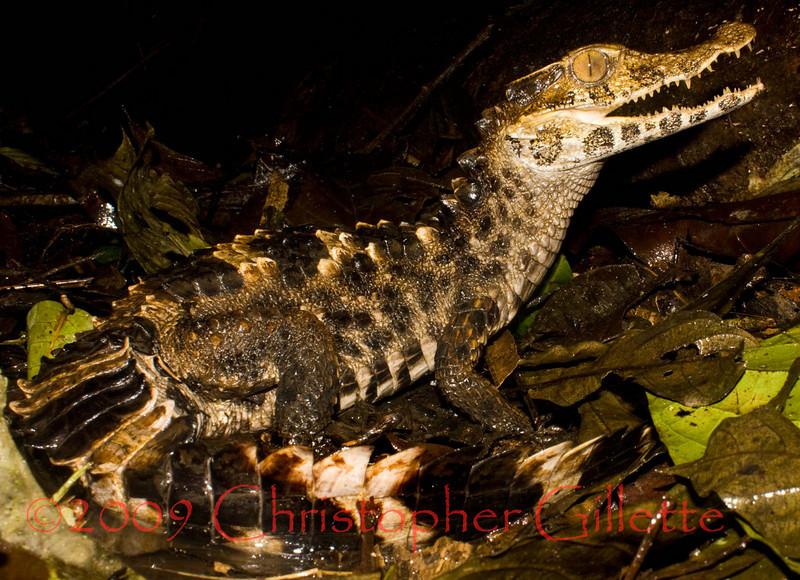 Paleosuchus trigonatus d