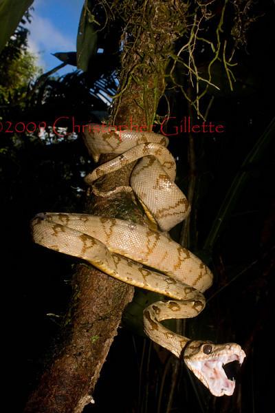Corallus hortulanus f
