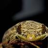 Thecadactylus rapicauda b