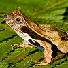 Edalorhina perezi
