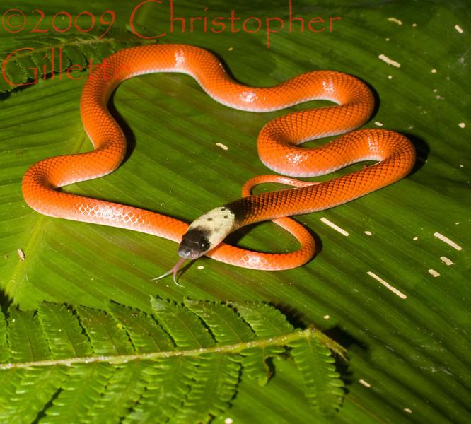 Drepanoides anomalus b