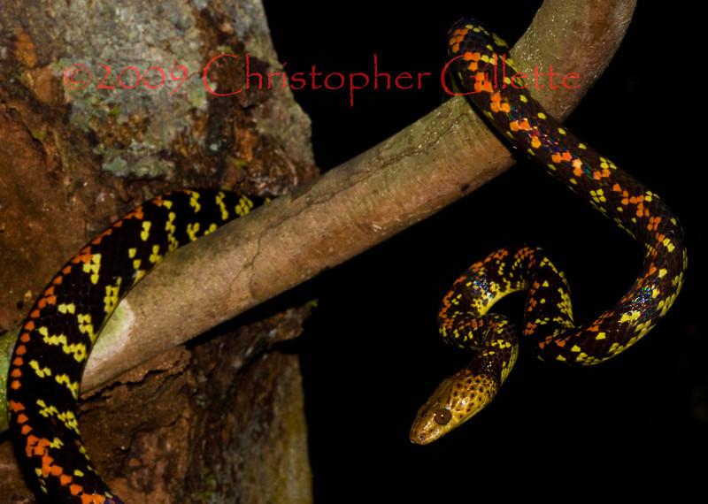 Siphlophus cervinus c