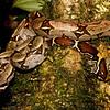Boa constrictor constrictor e