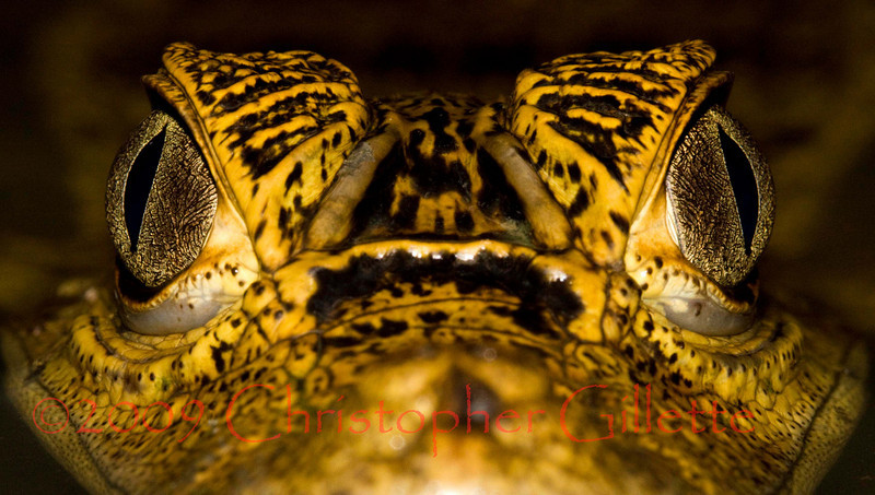 Caiman crocodilus b