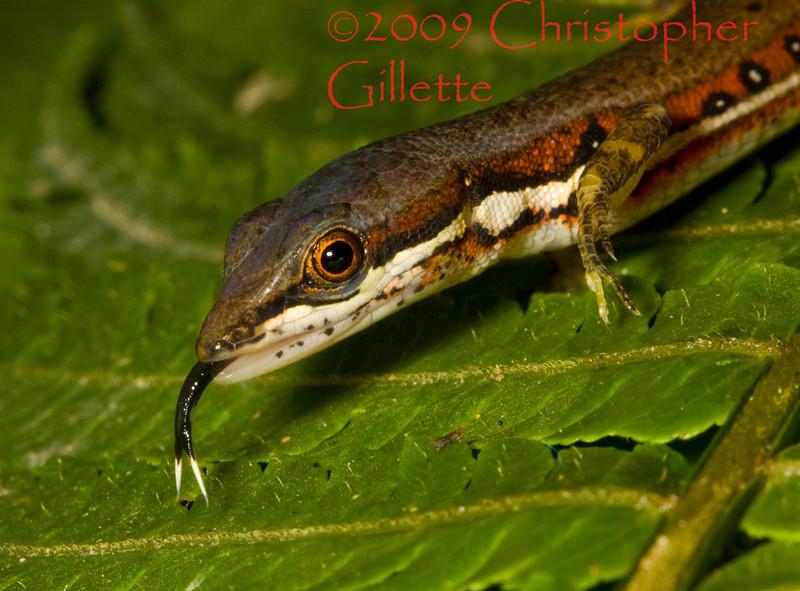 Prionodactylus oshaughnessyi