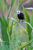 White-headed Marsh Tyrant (Arundinicola leucocephala)