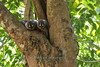Owl Monkey or Night Monkey (Aotus vociferans)