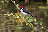 Red-capped Cardinal (Paroaria gularis)
