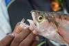 Payara (Hydrolicus armatus) or Vampire Fish