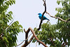 Plum-throated Cotinga (Cotinga maynana)