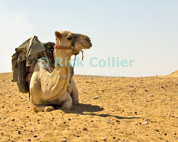 Saqqara, Cairo, Egypt -- A policeman's camel awaits his rider. © Rick Collier / RickCollier.com.<br /> <br /> <br /> <br /> <br /> <br /> travel; vacation; tour; tourism; tourist; destination; Egypt; Cairo; Saqqara; local; sights; camel; police; desert