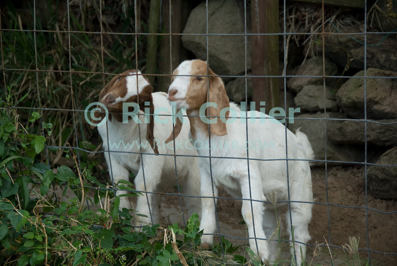 Saba - These baby goats bleated and begged as long as there was anyone in sight.   © Rick Collier