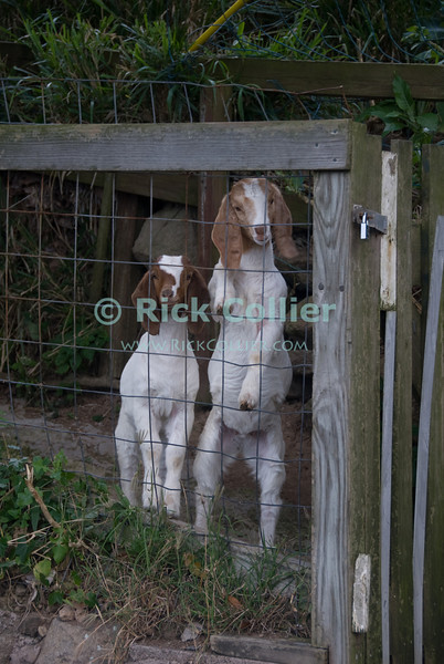 Saba - We oved these baby goats, who really wanted some attention.  © Rick Collier