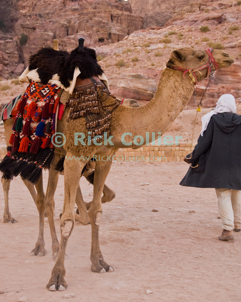 Petra, Jordan -- A camel herder takes his stock home at the end of the day, when he offered rides to tourists.  © Rick Collier<br /> <br /> <br /> <br /> Jordan Petra Nabatea Nabatean arab bedouin vendor camel 'camel ride'