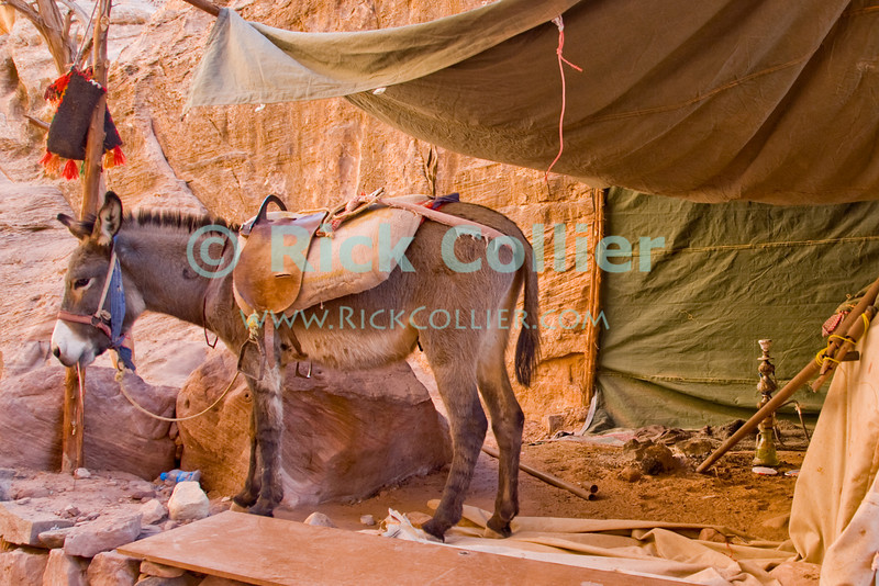 """Home Sweet Home.""  A mule and water pipe await the return of their master, in a makeshift shelter at the very back of Petra.  © Rick Collier<br /> <br /> <br /> <br /> Jordan Petra Nabatea Nabatean Rome Roman ruin archeology 'ancient world' antiquity cave 'cave dwelling' antiquities Bible Biblical civilization history historic desert stone cliff wall carve carved facade tourist tourism archeology valley desert path walk shop view donkey hut tent pipe 'water pipe' shack shelter arab Bedouin"