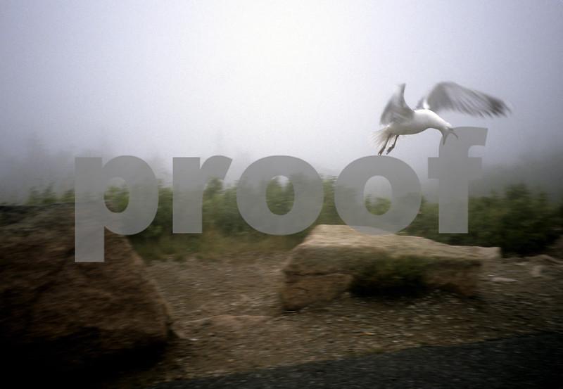 """""""Acadia Gull"""""""
