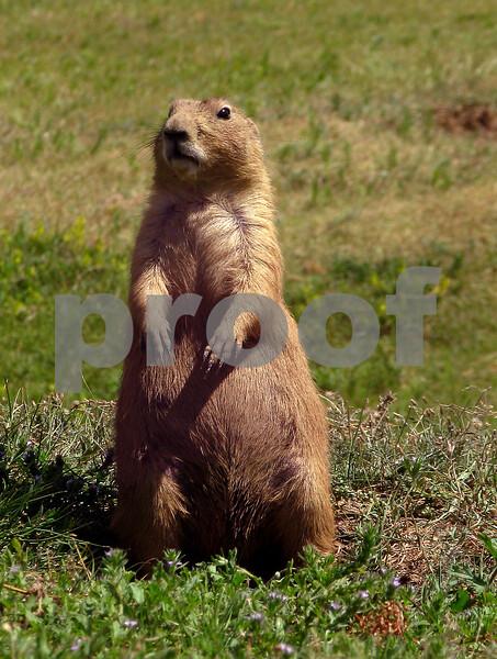 """""""Prairie Prowler"""""""