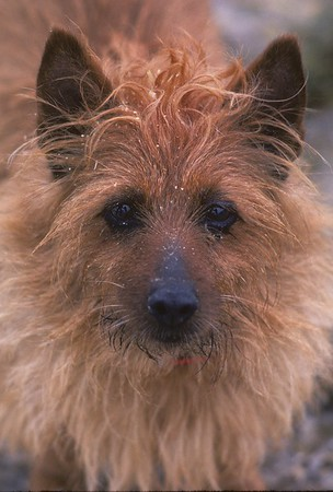 "His name was ""Babe"" and he was an Australian Terrier"