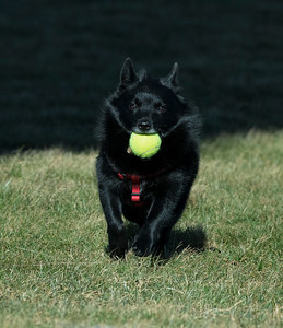 "Kara's ""Chowder"".... He is a Schipperke, related to the Spitz"