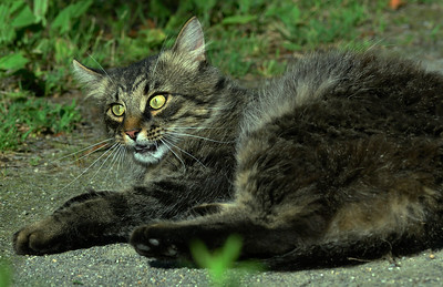 NEIGHBOR  MAINE COON CAT