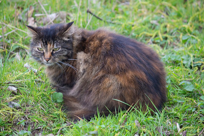 The domestic cat[1][2] (Felis catus[2] or Felis silvestris catus[4]) is a small, usually furry, domesticated, and carnivorous mammal. It is often called the housecat when kept as an indoor pet,[6] or simply the cat when there is no need to distinguish it from other felids and felines. Cats are often valued by humans for companionship and their ability to hunt vermin and household pests.  Cats are similar in anatomy to the other felids, with strong, flexible bodies, quick reflexes, sharp retractable claws, and teeth adapted to killing small prey. Cat senses fit a crepuscular and predatory ecological niche. Cats can hear sounds too faint or too high in frequency for human ears, such as those made by mice and other small animals. They can see in near darkness. Like most other mammals, cats have poorer color vision and a better sense of smell than humans.  Despite being solitary hunters, cats are a social species, and cat communication includes the use of a variety of vocalizations (mewing, purring, trilling, hissing, growling and grunting) as well as cat pheromones, and types of cat-specific body language.[7]  Cats have a rapid breeding rate. Under controlled breeding, they can be bred and shown as registered pedigree pets, a hobby known as cat fancy. Failure to control the breeding of pet cats by neutering, and the abandonment of former household pets, has resulted in large numbers of feral cats worldwide, requiring population control.[8]  Since cats were cult animals in ancient Egypt, they were commonly believed to have been domesticated there,[9] but there may have been instances of domestication as early as the Neolithic from around 9500 years ago (7500 BC).[10] The domestic cat, (Felis catus, Felis silvestris catus, furry, domesticated, carnivorous, mammal, housecat, pet, felines. claws, teeth, mammals, hunters,