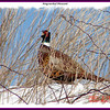 Ring-necked Pheasant (male)- February 11, 2007 - Grand Pre, NS