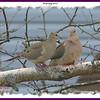 Mourning Doves - April 18, 2008 - Lower Sackville, NS
