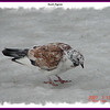 Rock Pigeon - March 11, 2007 - Sullivan's Pond, Dartmouth, NS