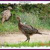 Ring-necked Pheasant - September 5, 2009