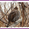 Ruffed Grouse - April 15, 2007 - River Bourgeois, Cape Breton, NS