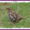 Ruffed Grouse - May 16, 2009 - River Bourgeois, Cape Breton, NS