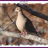 Mourning Dove - December 30, 2007 - Finlay Park, Dartmouth, NS