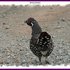 Spruce Grouse (male) - October 7, 2007 - River Bourgeois, Cape Breton, NS