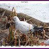 Rock Pigeon - February 17, 2007 - Sullivan's Pond, Dartmouth, NS