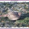 Ring-necked Pheasant (female) - April 22, 2011 - Lower Sackville, NS