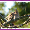 Mourning Dove - August 13, 2010 - Lower Sackville, NS